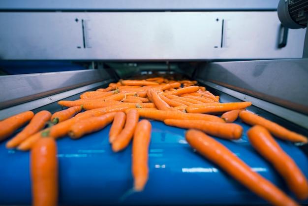 Verduras frescas en cinta transportadora transportadas en una planta de procesamiento de alimentos y seleccionadas por su tamaño