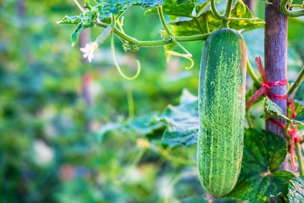 Verduras frescas de pepino de la granja de pepinos