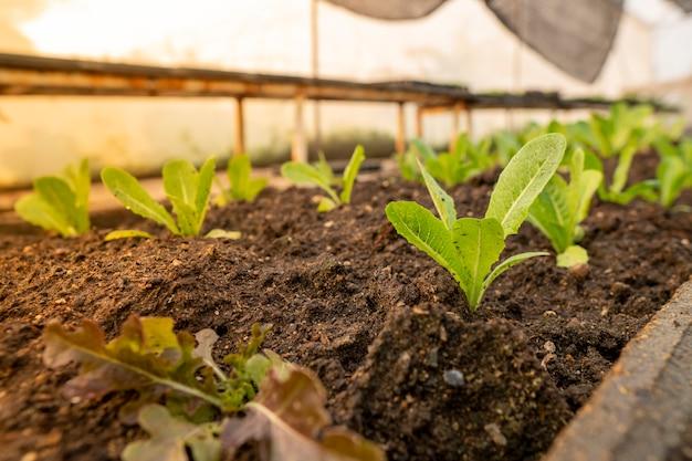 Verduras orgánicas en un área al aire libre al aire libre es una verdura segura y tiene un alto precio.