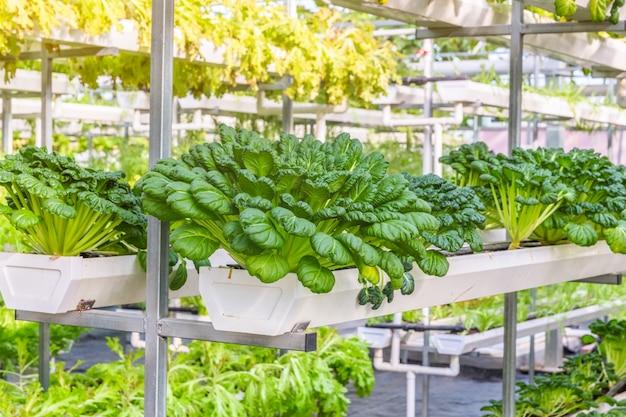 Verduras orgánicas en invernadero