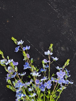 Veronica officinalis flor sobre fondo negro