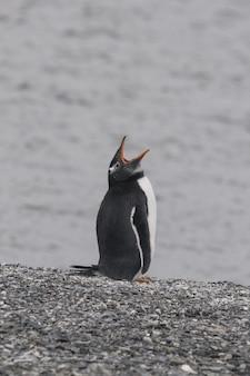 Vertical de un pingüino gentoo bostezando mientras está de pie en la pedregosa orilla del océano