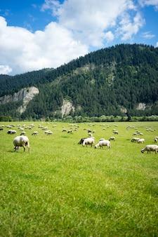 Vertical de un rebaño de ovejas comiendo hierba en el pasto rodeado de altas montañas