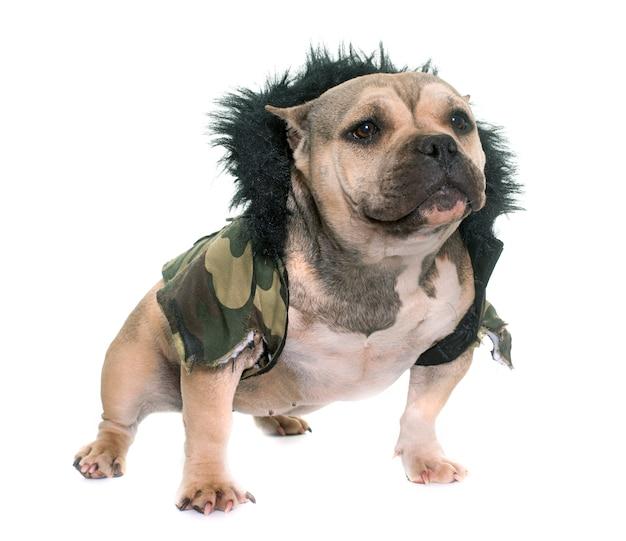 Vestido cachorro matón americano