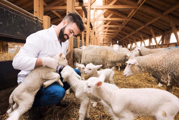 Veterinario cuidando corderos en granja de ovejas