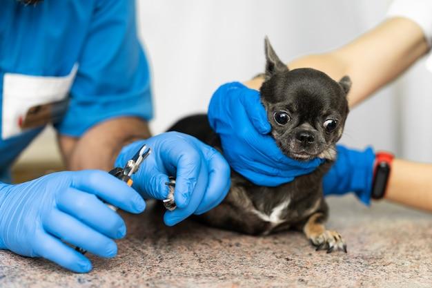 Un veterinario profesional corta las garras de un perro pequeño de la raza chihuahua en una mesa de manipulación en una clínica médica. concepto de cuidado de mascotas