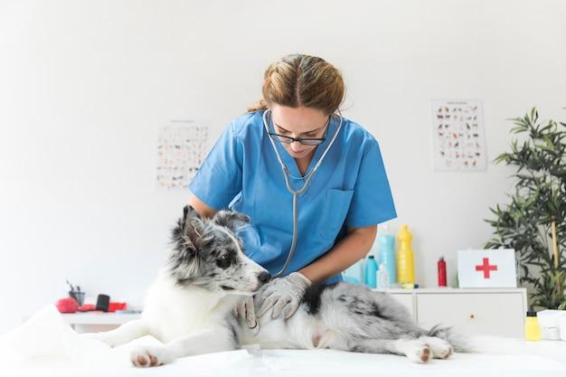 Veterinario que comprueba el perro con el estetoscopio en la tabla en la clínica del veterinario