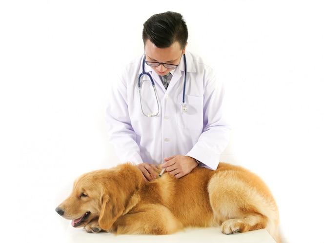Veterinario que controla el golden retriever del perro en hospital de la clínica del animal doméstico