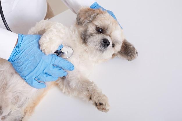 Veterinario sin rostro examinando perro pequinés con estetoscopio
