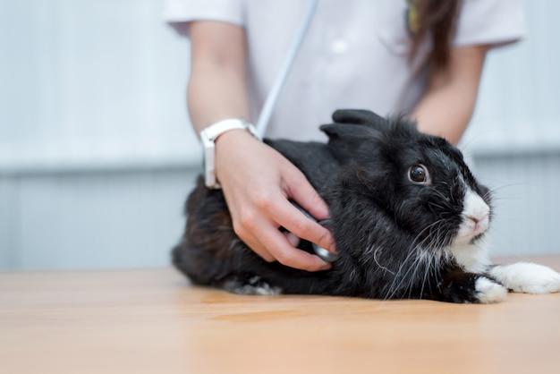 Veterinario utiliza estetoscopio para diagnosticar conejo lindo