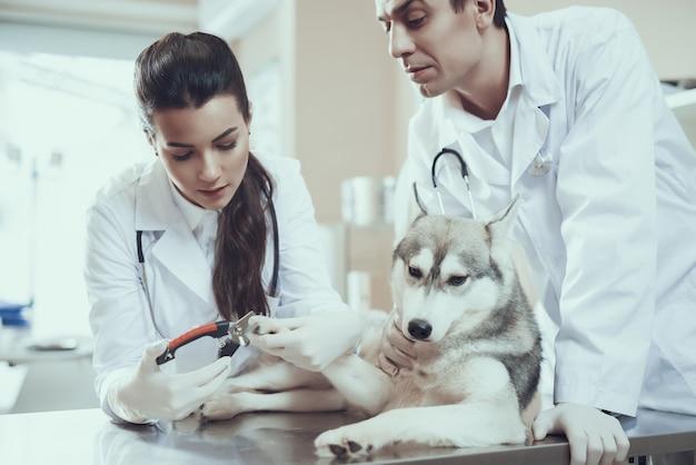 Veterinarios que recortan las garras del perro aseo de mascotas.