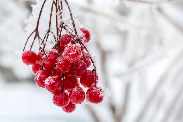 Viburnum cubierto de nieve