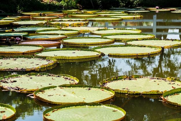 Victoria regia - el agua más grande de tailandia