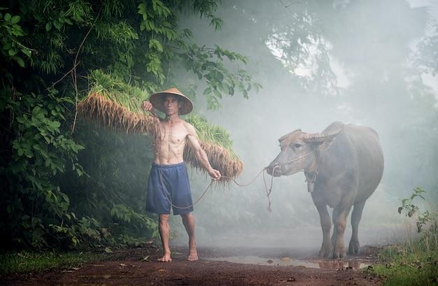 La vida nocturna de un granjero camina de regreso a casa con un búfalo.