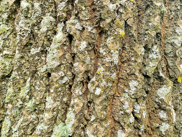 Vieja textura de corteza de madera agrietada, primer plano de fondo