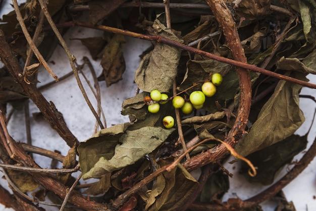 Viejas ramas y hojas marchitas con bayas amarillas