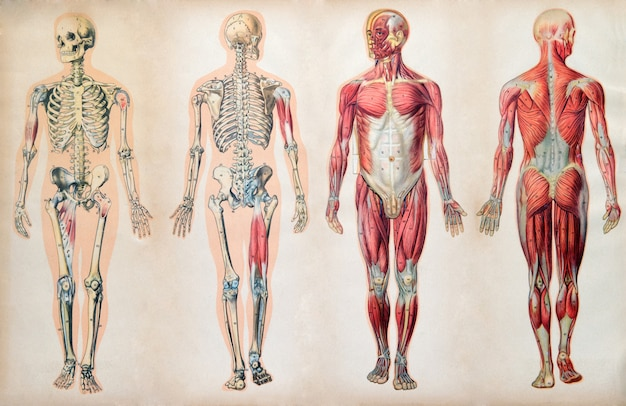 Viejas tablas de anatomía vintage del cuerpo humano