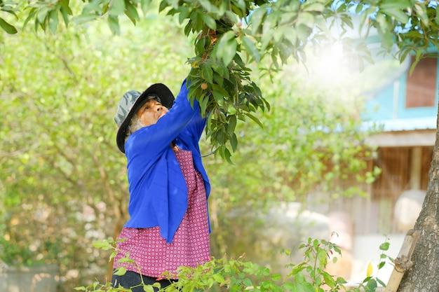 Viejo agricultor cosecha fruta en una granja