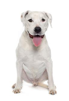 Viejo american staffordshire terrier