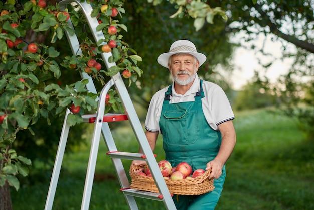Viejo granjero que sostiene la cesta de manzanas y que se coloca en escalera en jardín.