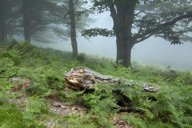 Viejo tronco de árbol caído decrépito en el bosque neblinoso