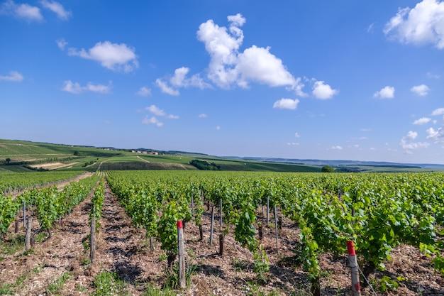 Viñedo de verano paisaje escénico, plantación, hermosas ramas de uva de vinificación