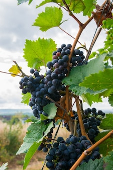Viñedos en cosecha de otoño. grandes racimos de uvas de vino tinto.