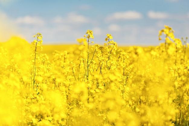 La violación amarilla hermosa fabulosa florece en un fondo del cielo azul. violación. biocombustibles. biodiesel eco ð gricultura. planta de aceite. campo
