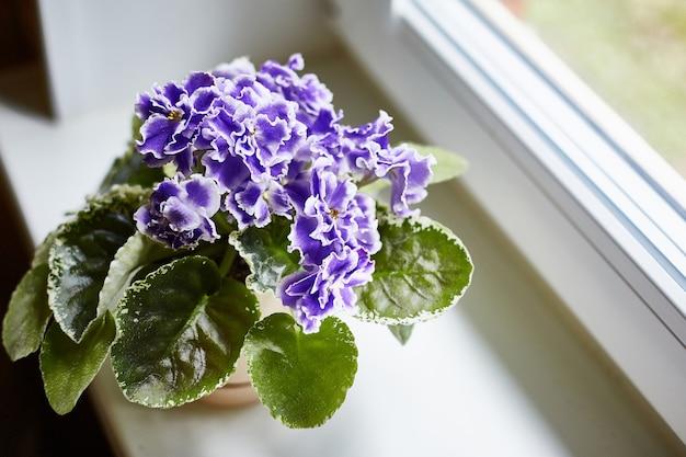 Violeta azul en maceta en la ventana blanca