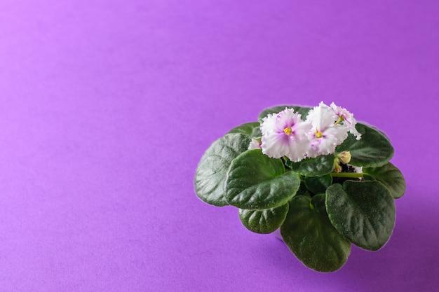 Violeta con flores en flor sobre un fondo morado claro