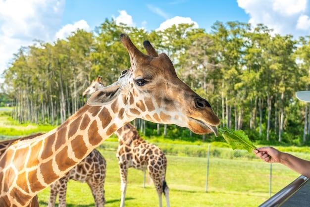 Visitantes del zoológico alimentando a una jirafa desde una plataforma elevada