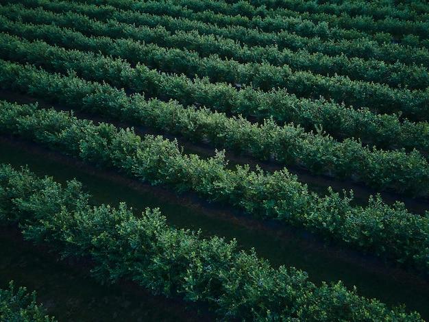 Vista aérea del abejón campo de arbustos de arándanos, orgánico maduro. baya azul colgando de una rama, bio, comida sana, vista superior, granja con bayas