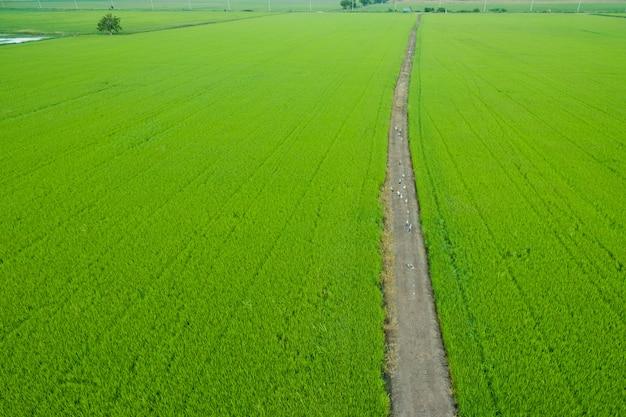 Vista aérea del avión no tripulado volador del campo de arroz