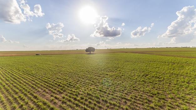 Vista aérea del campo de la plantación de la caña de azúcar con la luz del sol. industrial agrícola