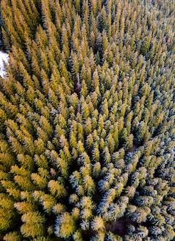 Vista aérea del denso bosque de pinos verdes con copas de abetos en las montañas de otoño.
