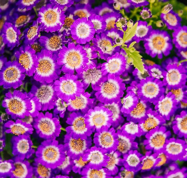 Una vista aérea de flores de cineraria frescas.
