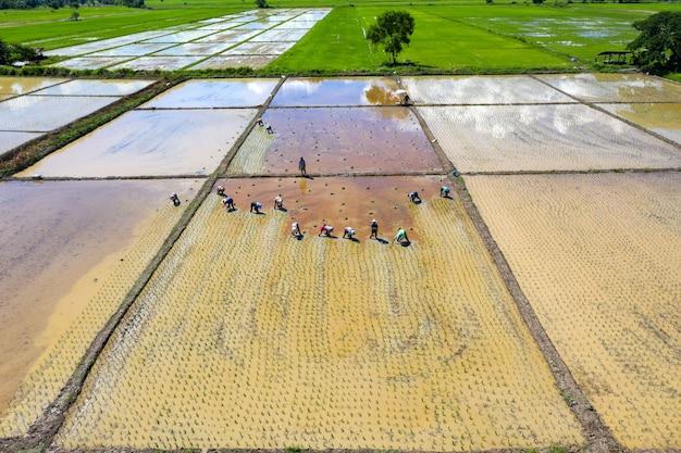 Vista aérea del grupo agricultor tradicional plantando arroz en un campo