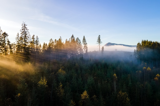 Vista aérea de pinos de color verde oscuro en el bosque de abetos con los rayos del amanecer brillando a través de las ramas en las montañas brumosas de otoño.