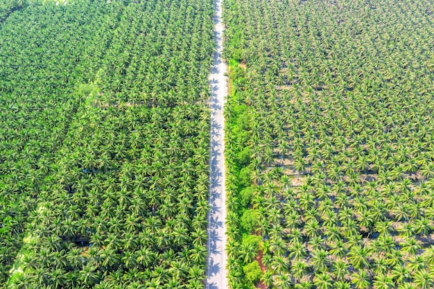 Vista aérea de la plantación de cocoteros y la carretera.