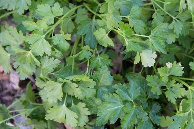 Vista aérea de plantas de perejil cultivadas en el huerto orgánico