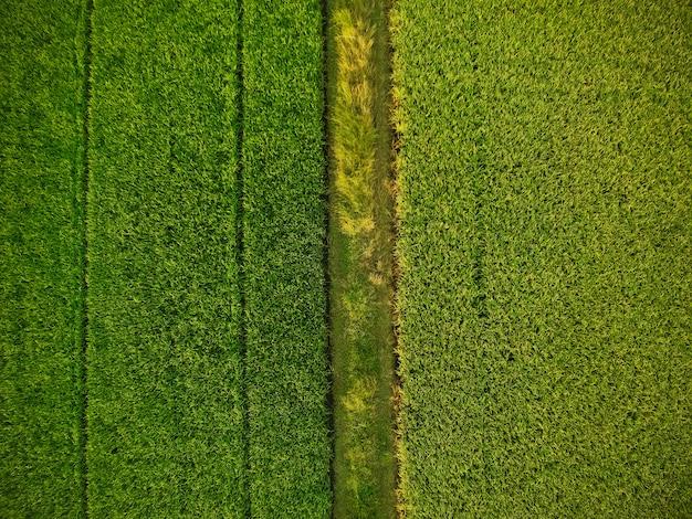 Vista aérea de los verdes campos de arroz.