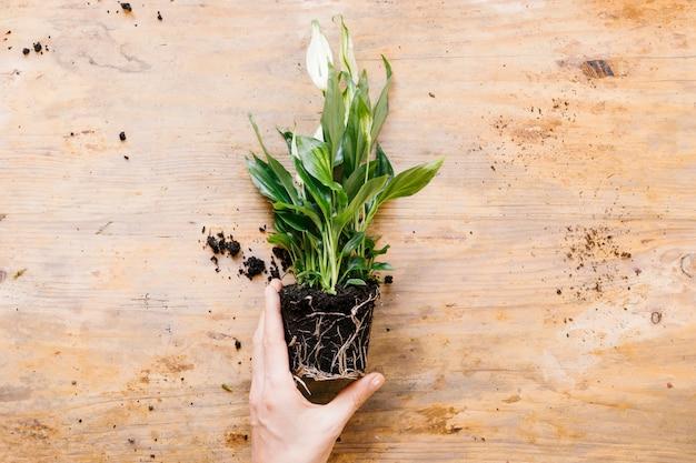 Vista de alto ángulo de la mano de la persona que sostiene la planta verde contra el telón de fondo de madera