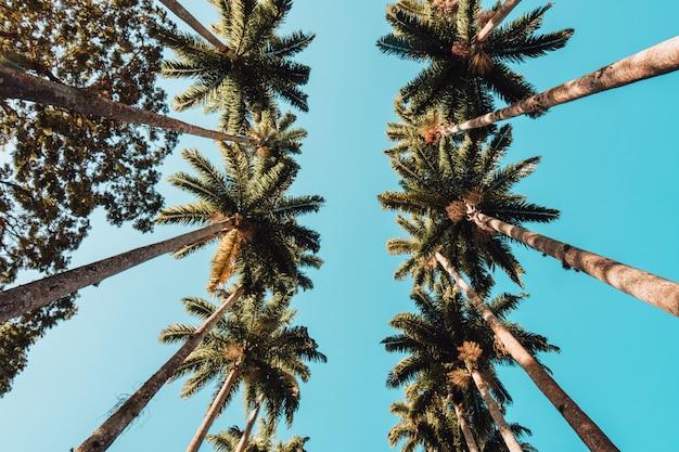 Vista de ángulo bajo de palmeras bajo la luz del sol y un cielo azul en río de janeiro.