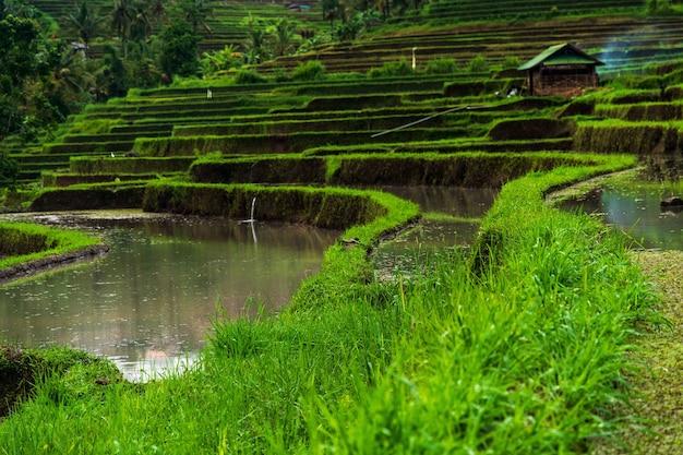 Vista de ángulo bajo las terrazas de arroz jatiluwih bajo la luz del sol en bali en indonesia