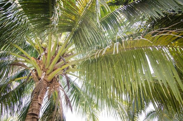 Vista de árbol de coco hacia el cielo para wallaper natural / fondo / telón de fondo