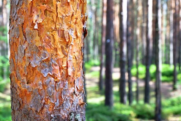 Vista de árboles viejos altos en el cielo azul del bosque primitivo imperecedero en el fondo.