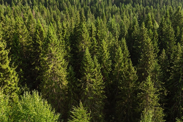 Vista desde arriba del hermoso bosque de pinos en sortavala, karelia.
