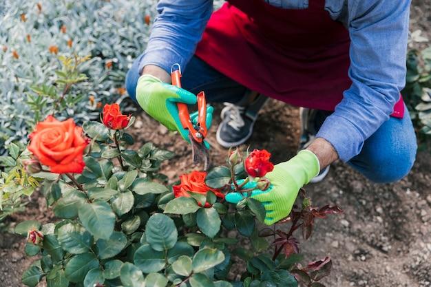Una vista desde arriba de la mujer jardinero cortando la rosa de la planta