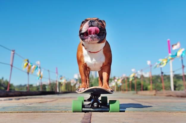 Vista baja de un patinador bulldog francés