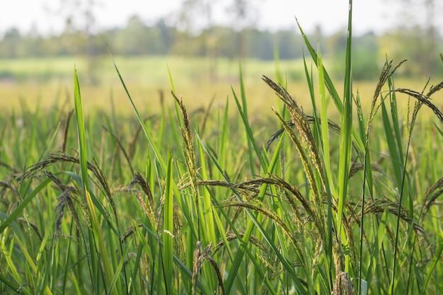 Vista de cerca del arrozal en las terrazas de arroz de tailandia